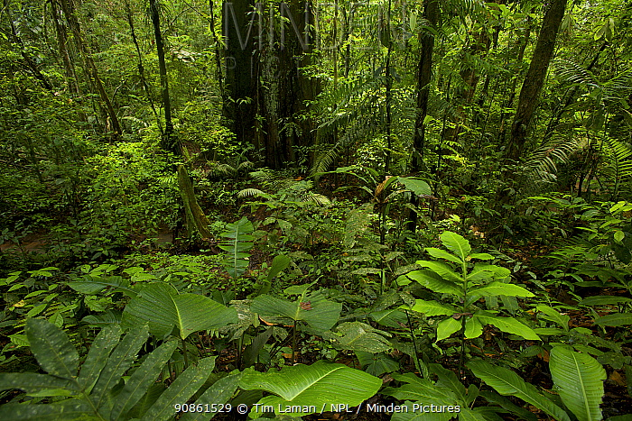 Interior of lowland terra firme rain forest at the Tiputini Biodiversity Station, Orellana Province, Ecuador, July.