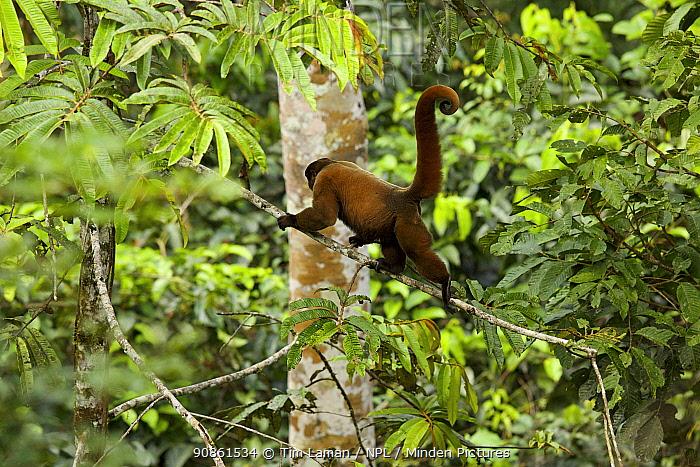 Woolly Monkey (Lagothrix poeppigii) walking along branch at the Tiputini Biodiversity Station, Orellana Province, Ecuador, July.