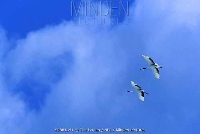 Two Red-crowned cranes (Grus japonensis) in flight, Japan.