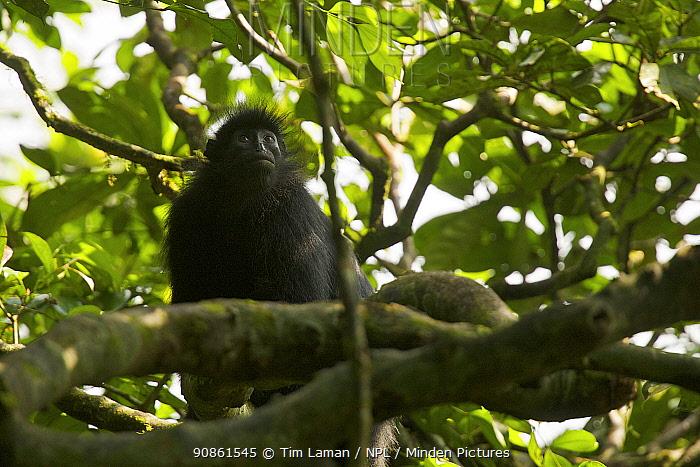 Black colobus monkey (Colobus satanus satanus) in the rainforest of Bioko Island, Equatorial Guinea, West Africa. Endangered species.