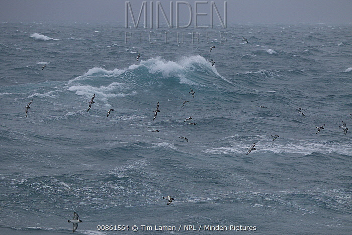 Cape petrel (Daption capense) flock in flight over rough sea, Bransfield Strait, Antarctica.