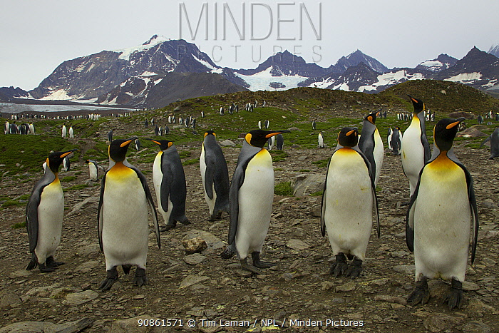 King penguin (Aptenodytes patagonicus) colony at St. Andrews Bay, South Georgia.