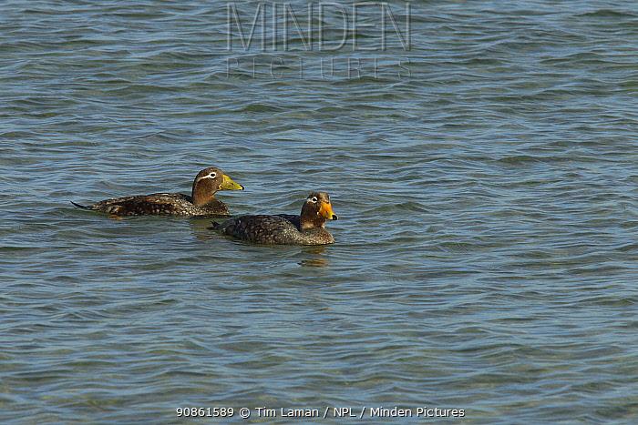 Falkland steamer duck (Tachyeres brachypterus) pair swimming, Carcass Island, Falkland Islands.