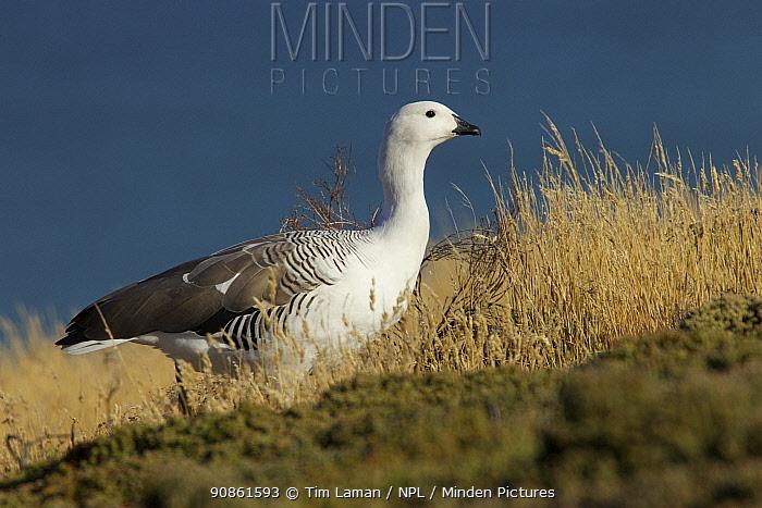 Upland goose (Chloephaga picta) male, Carcass Island, Falkland Islands.