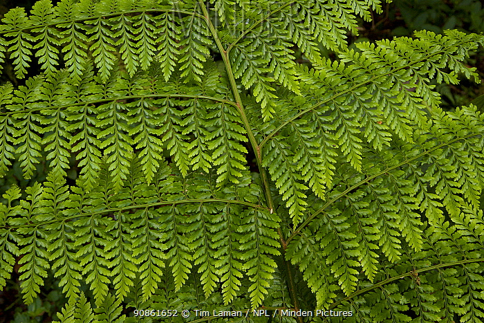Close-up of a fern in the montane rainforest. YUS Conservation Area, Huon Peninsula, Morobe Province, Papua New Guinea. December 2006.