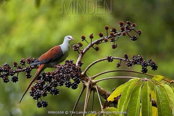 Great Cuckoo-Dove (Reinwardtoena reinwardtii) at a fruiting Shefflera tree. Huon Peninsula, Morobe Province, Papua New Guinea.