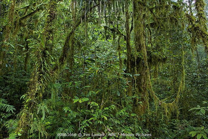 Montane rainforest habitat Arfak Mountains (at 2000m elevation) West Papua, New Guinea.