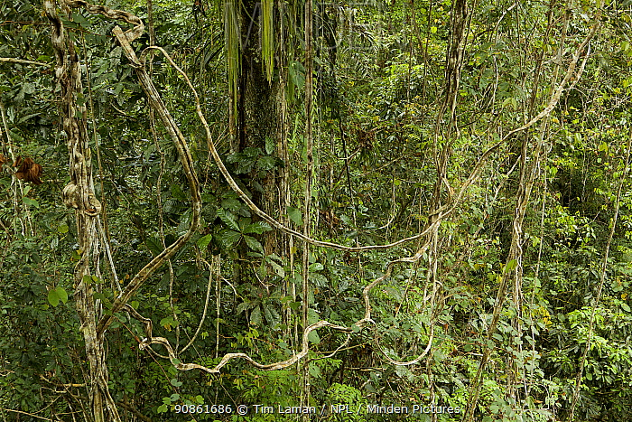 Rain forest tree covered in lianas, mostly Bauhinia sp. This tree is the territory of a male King Bird of Paradise, who has his display site here. West Papua, New Guinea.