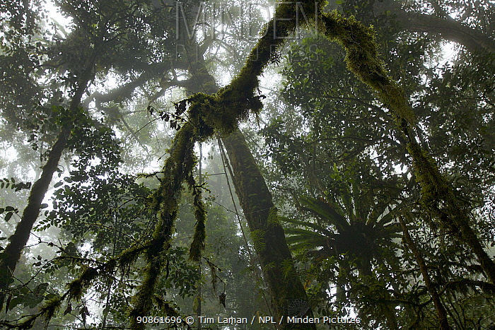 View into into canopy of montane rainforest at 2200 m elevation in the Arfak Mountains, West Papua, Indonesia.