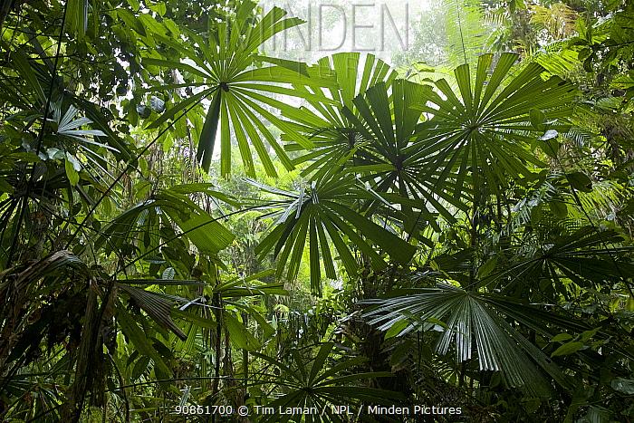 Fan palms in lowland swamp forest, New Guinea.