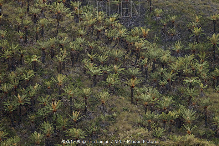Tree fern (Dicksonia) forest in alpine grassland at approx. 3300 m elevation in the Jayawijaya Mountains, New Guinea.