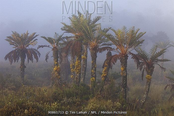 Tree Ferns (Dicksonia sp.) in the mist. New Guinea.