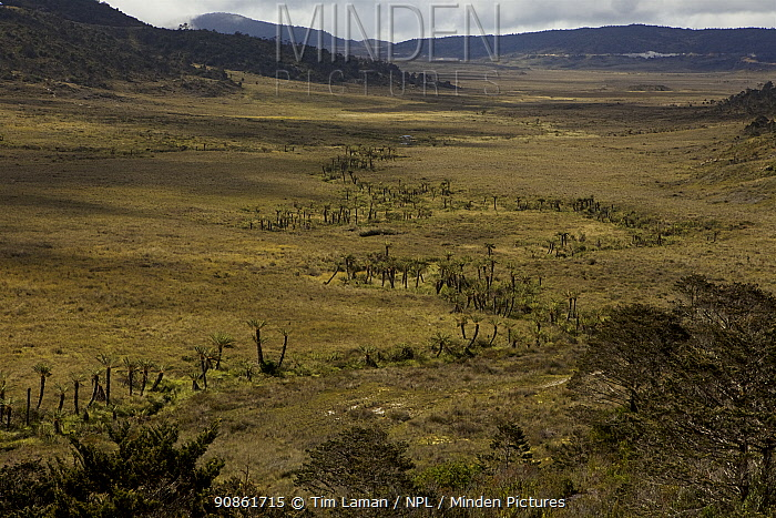 Tree ferns (Dicksonia sp) growing in the alpine grassland near Lake Habbema, Jayawijaya Mountains, Papua New Guinea.