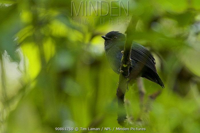 Blue-grey robin (Peneothello cyanus) Papua New Guinea, November 2010.