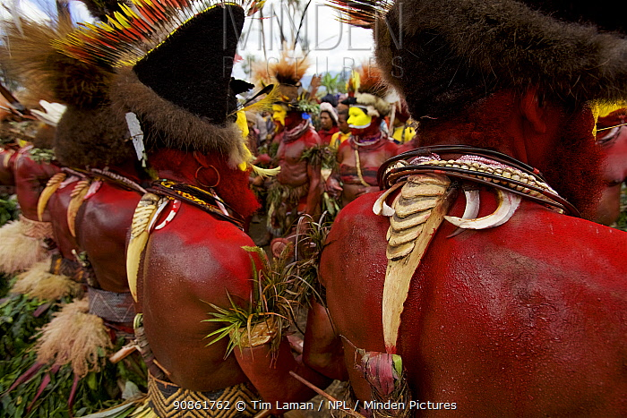 Huli 'singsing' dance ceremony. Huli wigmen wearing human hair wigs and feathers of various birds of paradise and other bird species. Tari Valley, Southern Highlands Province, Papua New Guinea.
