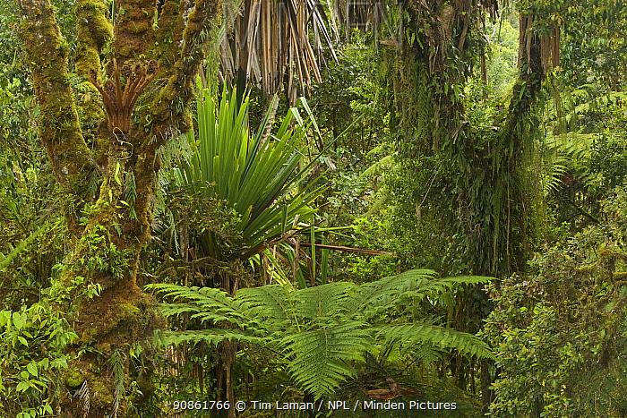 Mossy montane rainforest with tree ferns and Pandanus, Tari Gap, Papua New Guinea.