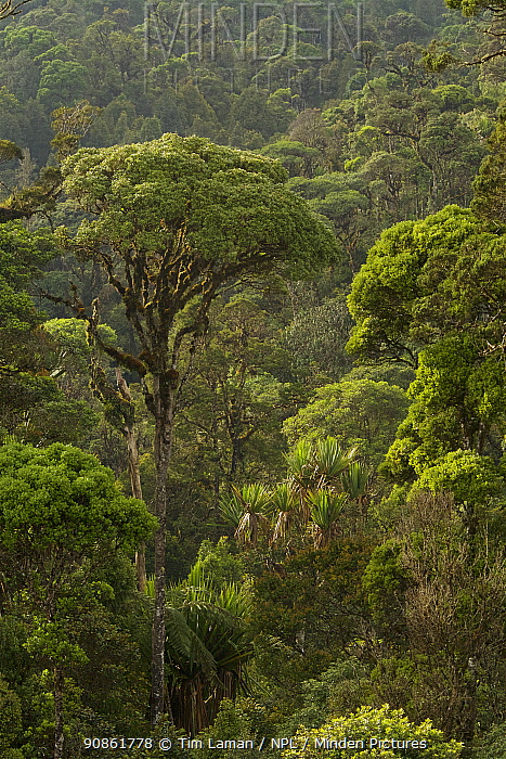 Montane rainforest near Tomba Pass, Enga Province, Papua New Guinea.