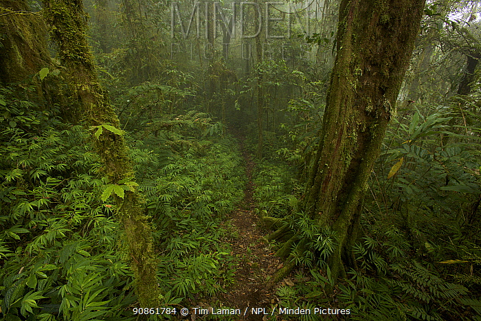 High angle view of trail in moss covered montane rainforest, Arfak Mountains, Papua New Guinea. August 2009.