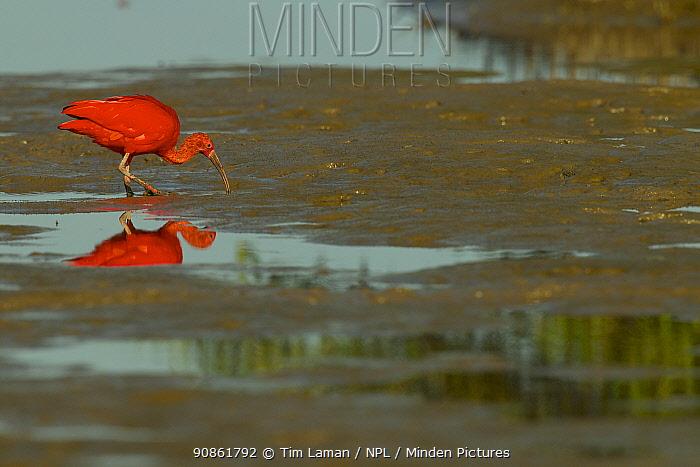 Scarlet Ibis (Eudocimus ruber) foraging on the mudflats in the Orinoco River Delta, Venezuela.