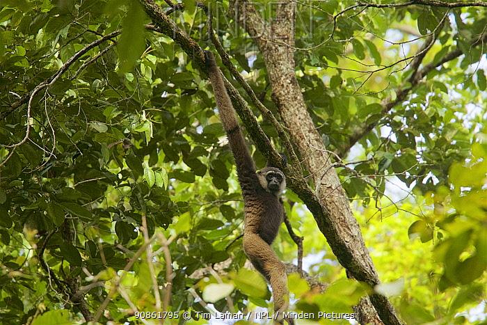 Bornean white-bearded gibbon (Hylobates albibarbis) Gunung Palung National Park, Borneo