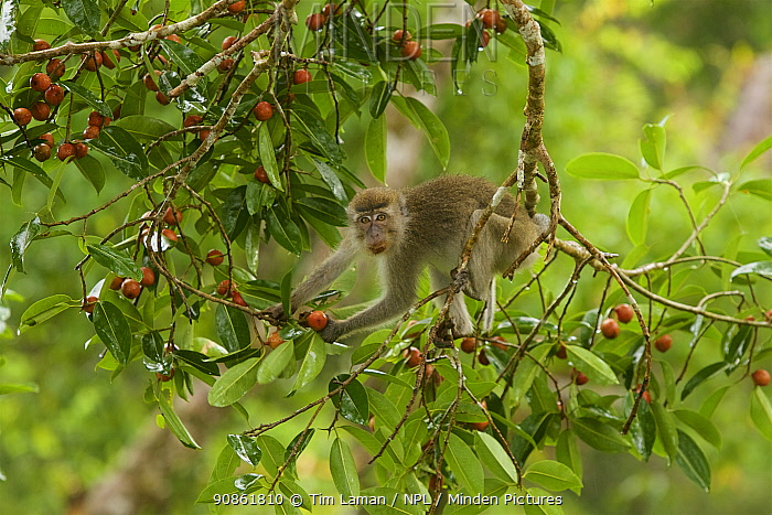 Long-tailed macaque (Macaca fascicularis) feeding in fruiting strangler fig tree (Ficus dubia). Gunung Palung National Park, Borneo.