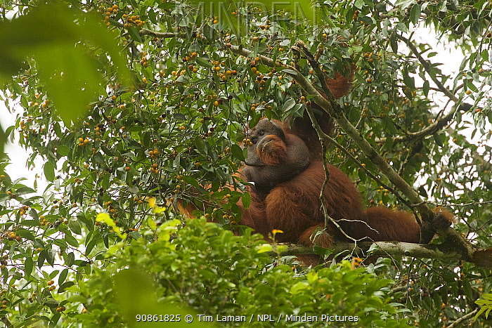 Bornean orangutan (Pongo pygmaeus) male feeding on the figs of a strangler fig tree (Ficus stricta) in lowland rain forest, Gunung Palung National Park, Borneo