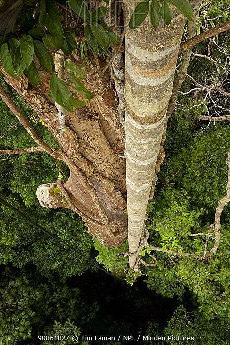 Roots of the strangler fig (Ficus dubia) attached to Dipterocarp tree (Shorea sp.)