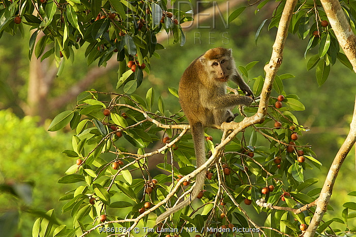 Long-tailed macaque (Macaca fascicularis) in the canopy of a fruiting strangler fig tree (Ficus dubia), surrounded by ripening figs. Gunung Palung National Park, Borneo.