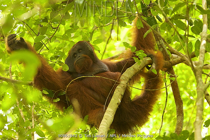 Bornean orangutan (Pongo pygmaeus) male, Gunung Palung National Park, Borneo.