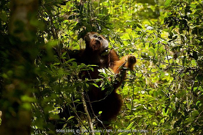 Bornean orangutan (Pongo pygmaeus) male travelling through low trees, Gunung Palung National Park, Borneo. Model released.
