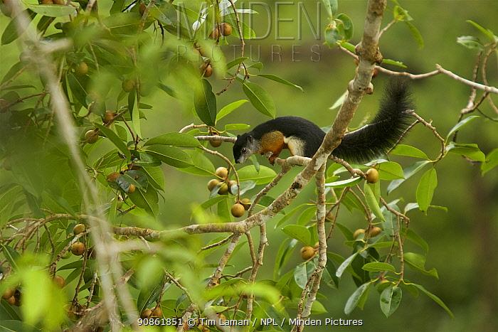 Prevost's squirrel (Callosciurus prevostii) in a strangler fig tree (Ficus dubia) in rainforest canopy, Gunung Palung National Park, Borneo.