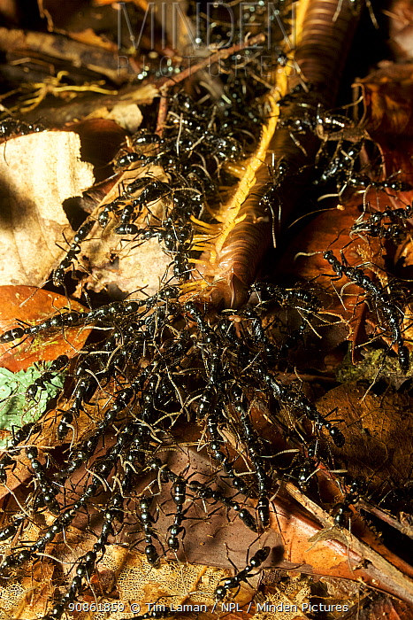 Ants (Leptogenys sp.) predating millipede, Cabang Panti Research Station, Gunung Palung National Park, Borneo.