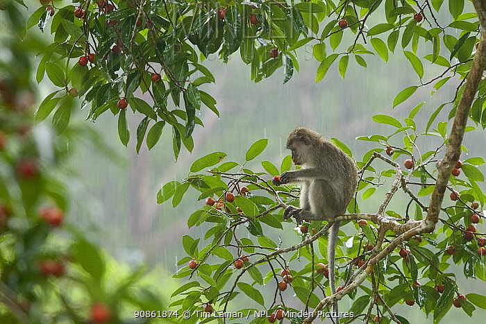 Long-tailed macaque (Macaca fascicularis) feeding in a fruiting strangler fig tree (Ficus dubia) in heavy rain. Gunung Palung National Park, Borneo.