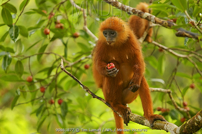 Red leaf monkey (Presbytis rubicunda) female feeding on fig, in Strangler fig tree (Ficus dubia) Gunung Palung National Park, Borneo.