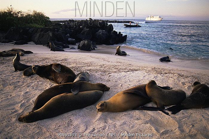 Galapagos sea lions (Zlophus californianus wollebacki) on Espanola / Hood Island, Galapagos, June. Tourist zodiac boat and ship in the background.