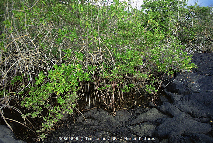 Red mangrove {Rhizophora mangle} growing at edge of lava, Fernandia / Narborough Island, Galapagos, June 1993.