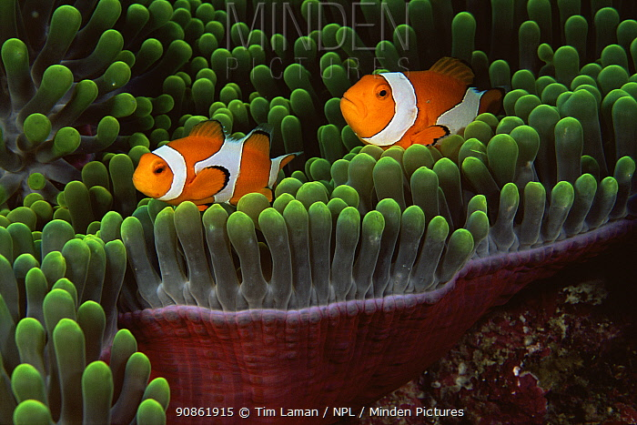 Two false clown anemonefish (Amphiprion ocellaris) amongst tentacles of sea anemone, Wakatobi Islands, Sulawesi, Indonesia.