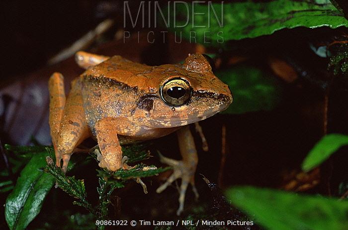 Frog {Platymantis dorsalis} Panay Island Northwest mountains, Philippines, May