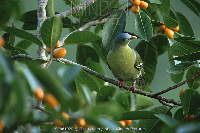 Thick-billed green-pigeon (Treron curvirostra) female in fig tree, Subterranean River National Park, Palawan Island, Philippines. October