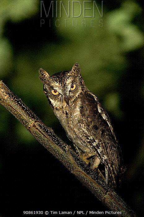 Mantanani scops owl (Otus mantananensis) Dimakya Island, Palawan, Philippines, November