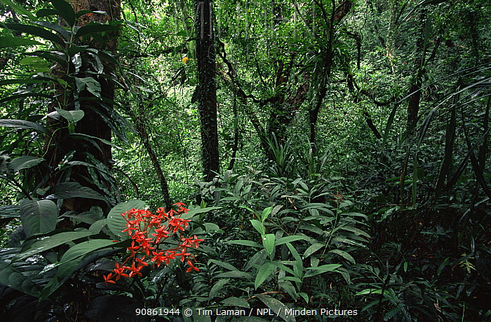 Rainforest of Babeldaob Island with endemic species of (Ixora sp) shrub in flower. Republic of Palau. December 2001.