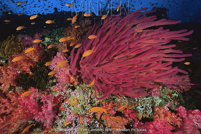 Scalefin / Lyretail Anthias (Pseudanthias squamipinnis) swimming over reef covered in soft corals and whip coral. Vatu-i-Ra, Fiji, Pacific