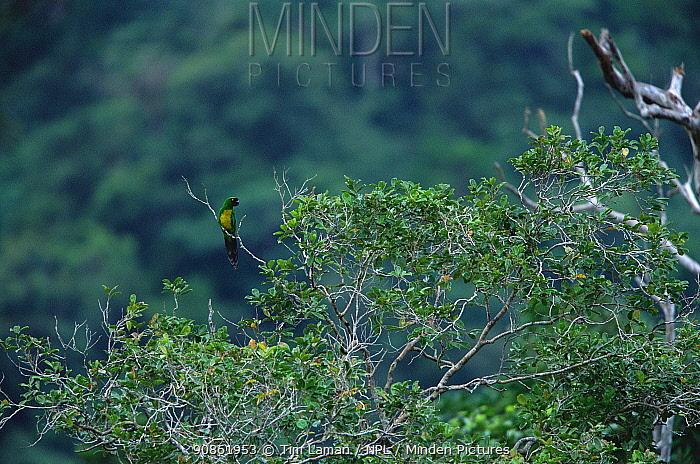 Masked Shining-Parrot (Prosopeia personata) perched in the rainforest canopy on Viti Levu Island, Fiji. Endemic to Viti Levu Island. IUCN Red List: Near Threatened