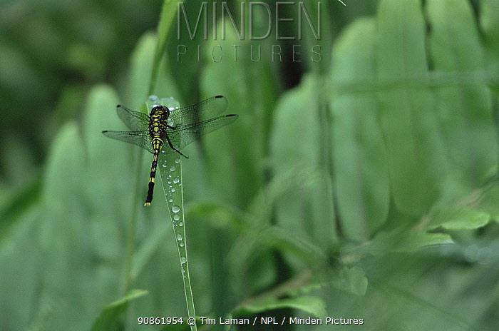 Dragonfly on a dew covered blade of grass. Viti Levu Island, Fiji