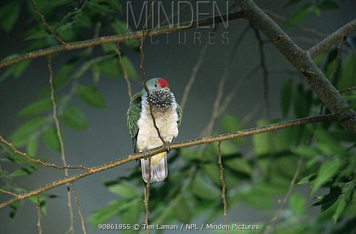 Many-coloured Fruit Dove (Ptilinopus peroussi) female in rainforest, Viti Levu Island, Fiji. Endemic to Fiji, Samoa, and Tonga.