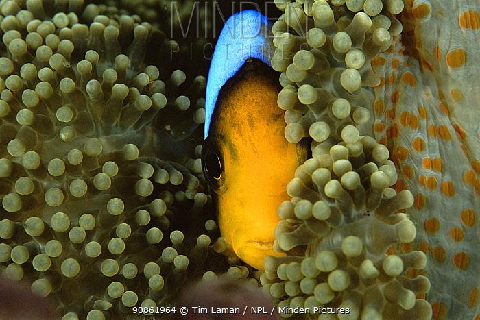 Orange-fin anemonefish (Amphiprion chrysopterus) amongst anemone tentacles, Somosomo Strait, Rainbow Reef, Fiji.