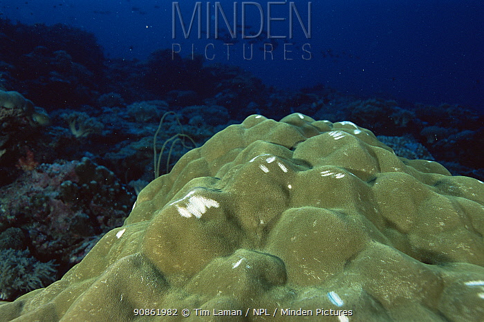 Massive hard coral (Porites sp.) with bite marks from feeding Parrot fish (Scarus sp) on a coral reef in Palau, Micronesia.