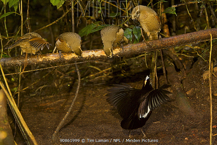 Carola's Parotia (Parotia carolae) male displaying in his display court to female-plumaged brown birds - young males are indistinguishable from females. Papua New Guinea. The display court is an area of ground cleared of leaves with a horizontal perch crossing above