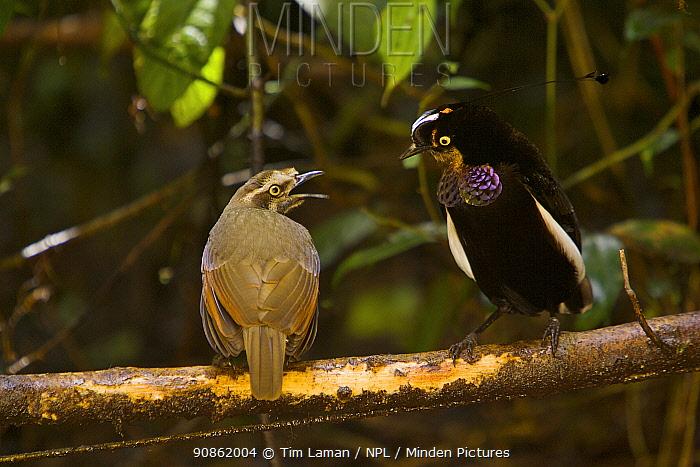 Carola's Parotia (Parotia carolae) male displaying to female-plumaged birds - young males are indistinguishable from females. Papua New Guinea
