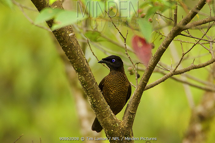 Lawes's Parotia Bird of Paradise (Parotia lawesii) female foraging, Papua New Guinea